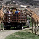 Safari Park Giraffes